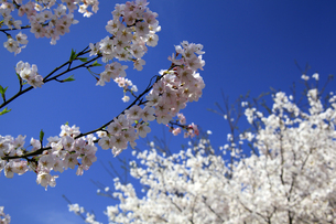 青空と桜の花の写真素材 [FYI00250391]