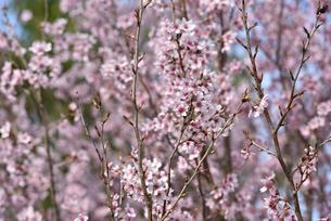 桜の写真素材 [FYI00250392]