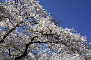 青空と桜の花の写真素材 [FYI00250393]