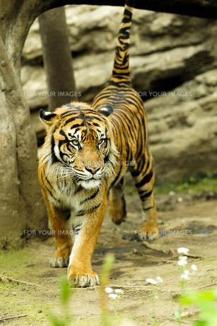 虎の闊歩の写真素材 [FYI00250401]
