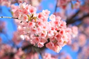 晴れの日のさくらの花の写真素材 [FYI00250413]