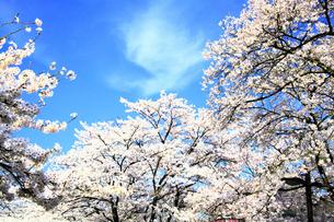 青空と桜の写真素材 [FYI00250415]