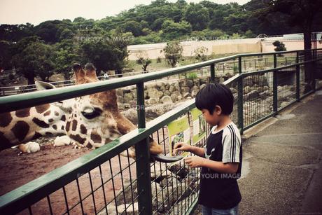 キリンにエサをあげる少年の写真素材 [FYI00250656]