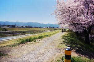 満開の桜と富士山と川沿いの写真素材 [FYI00250670]