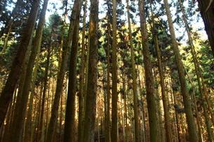 杉木立の写真素材 [FYI00250696]