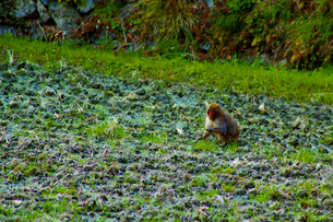 春の訪れともに野生猿の訪問の写真素材 [FYI00250727]