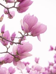 モクレンの花の写真素材 [FYI00250842]
