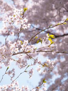 桜の写真素材 [FYI00250843]