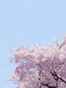 春の空と桜の写真素材 [FYI00250862]