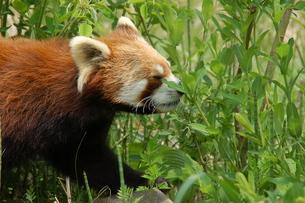 レッサーパンダの写真素材 [FYI00250912]
