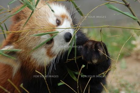 レッサーパンダの写真素材 [FYI00250914]