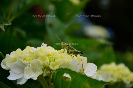 紫陽花の写真素材 [FYI00250922]