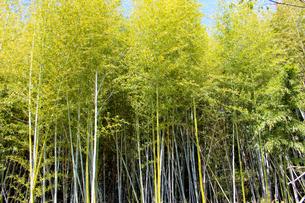 竹林の写真素材 [FYI00251041]