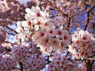 桜咲くの写真素材 [FYI00251070]