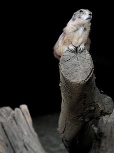 木に登るプレーリードックの写真素材 [FYI00251075]