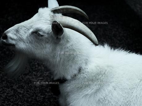 白いヤギの写真素材 [FYI00251087]