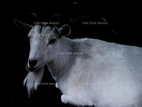 白ヤギの写真素材 [FYI00251092]