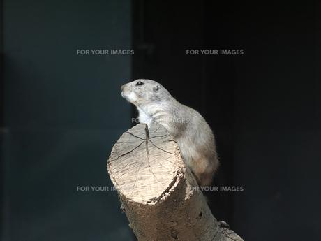 横から見たプレーリードックの素材 [FYI00251120]