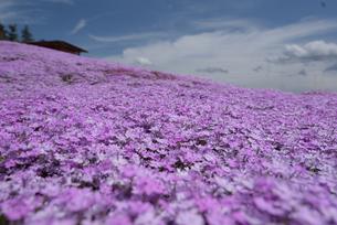 芝桜の写真素材 [FYI00251161]