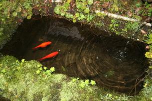 金魚と波紋の写真素材 [FYI00251168]