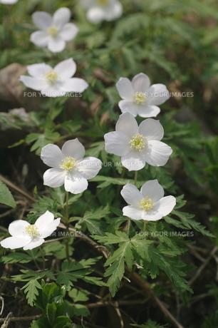 一輪草の花々。の素材 [FYI00251184]