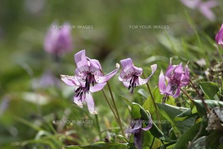 片栗、斜光の花々。の素材 [FYI00251189]
