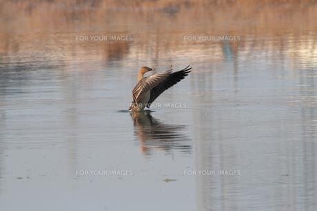 オオヒシクイ、大きな羽。の素材 [FYI00251192]