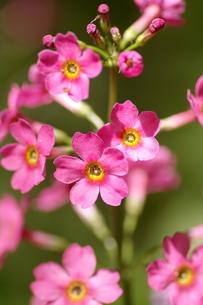 クリンソウの花。の素材 [FYI00251199]