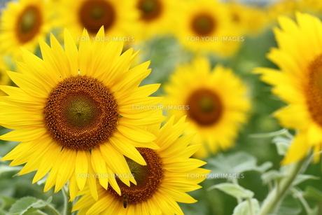 ヒマワリ、花々。の素材 [FYI00251210]