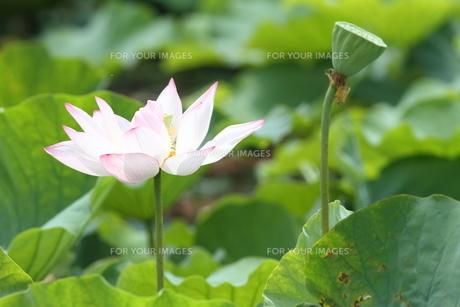 蓮の花と、蓮の実。の素材 [FYI00251216]