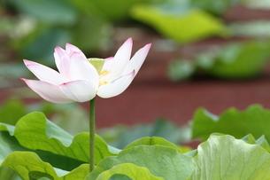 蓮の花。の素材 [FYI00251222]