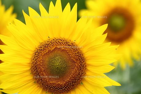 太陽に向かう花、ヒマワリ。の素材 [FYI00251223]