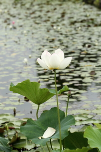 ハス、白い花。の素材 [FYI00251224]