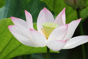 蓮。花のアップ。の素材 [FYI00251231]
