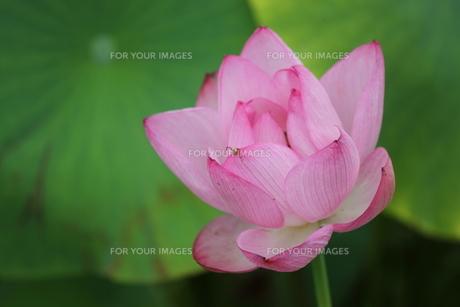 大賀ハスの花、よく見るとクモ。の素材 [FYI00251236]