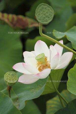 大賀ハス、花と実。の素材 [FYI00251239]