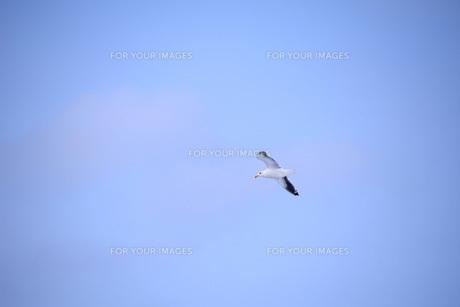 飛んでゆくカモメの写真素材 [FYI00251249]