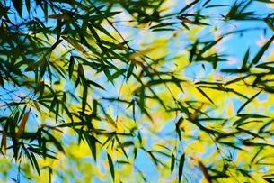 風に吹かれる笹の葉の写真素材 [FYI00251275]