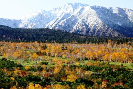 秋の白樺と富良野岳の写真素材 [FYI00251415]