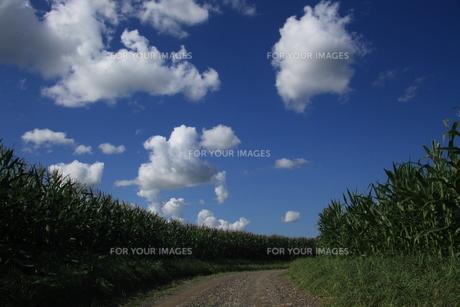 とうもろこし畑の小道の写真素材 [FYI00251443]