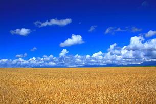 色づく麦畑の写真素材 [FYI00251445]