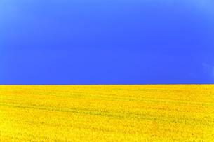 麦畑と青い空の写真素材 [FYI00251446]