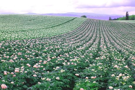 ジャガイモの花咲く丘の写真素材 [FYI00251448]