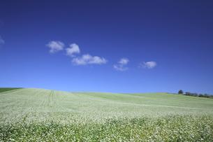 そばの花咲く丘の写真素材 [FYI00251452]