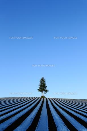 とうもろこし畑の温床の写真素材 [FYI00251458]