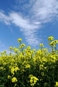 菜の花と白い雲の写真素材 [FYI00251459]