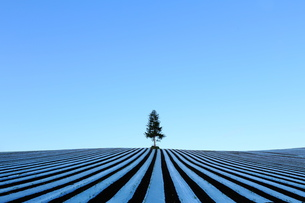 とうもろこし畑とビニールの写真素材 [FYI00251476]