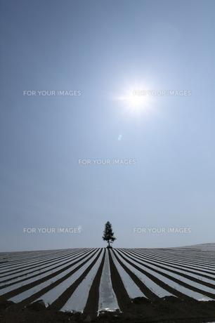 とうもろこし畑と太陽の写真素材 [FYI00251477]