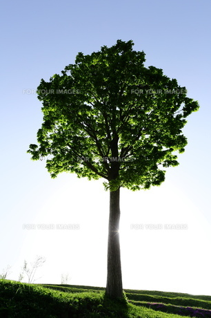 朝陽浴びる木の素材 [FYI00251480]