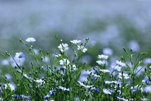 可憐な亜麻の花の写真素材 [FYI00251503]